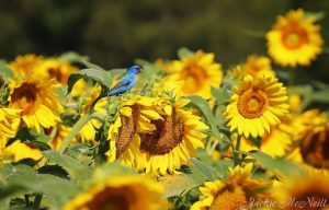 Visit an Alabama sunflower field in full bloom this weekend!